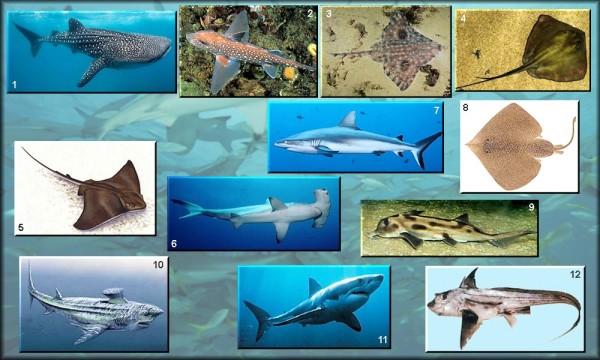 diferencas entre peixes cartilaginosos e osseos22