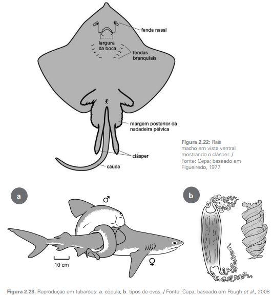 diferencas entre peixes cartilaginosos e osseos6